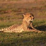 Cheetah in der Abendsonne