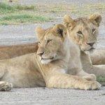 Löwen im Ndutu