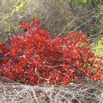 Ram Head hike--red shrub