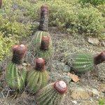Ram Head hike--cactus