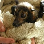 Baby bat being checked over.