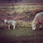 Lambs in the fields at Cotton Farm