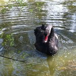 Black swan at Whisby Nature Park