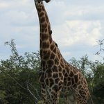 Giraffe on Game Drive
