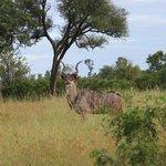 Kudu on Game Drive