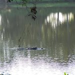 "Alligator in hotel ""lake"""