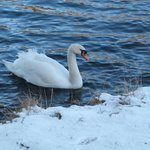 Swan on the loch