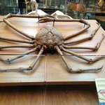 World's largest crab