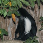 One of the colobus monkeys