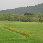 Rice paddy with ceremonial marigolds growing right next to Sunil's. At night the sounds of natur