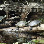 See Turtles in the Tomoka Forest at the marshes
