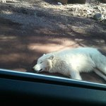 Wolf napping on the road