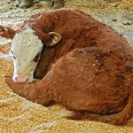Pretty little calf napping on a warm spring day