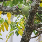 Rose-ringed Parakeet, just down the road