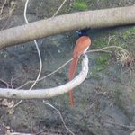 Rufous Asian Paradise Flycatcher, on the property