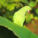 Female Rose-ringed Parakeet, just across the road