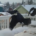 ravens gathering snacks from the deck