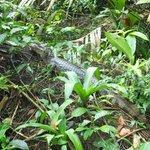 en el recorrido,un cocodrilo descansando sobre un tronco