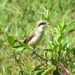 Brown Shrike, from the balcony at Martin's