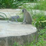 Monkeys in the resort gardens
