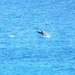 親子のザトウクジラがジャンプして遊んでいました。