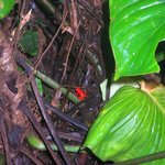 Red Frogs. . .they're so small
