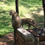 Monkey & Wart Hog