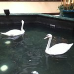 the resident swans!