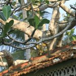 frangipani trees