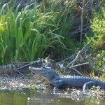 Gator up close!  :-)