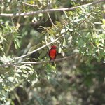 vermillion flycatcher in garden
