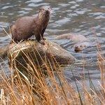 Otter Mum
