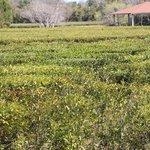 Field of growing tea plants.