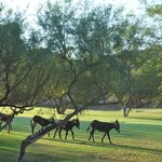 Burros on the Golf Course