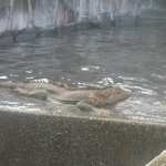 Resident Iguana Valentino at the Jacuzzi