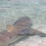 Nurse shark swim close to the beach.