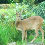 Roe Deer in Garden