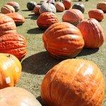 ハロウィンでは庭に巨大カボチャがゴロゴロ