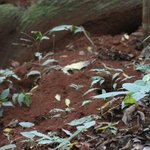 Leaf Cutter Ant Colony