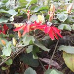 Passiflora (passion flower) vines decorate the gardens roof attracting butterfly's and hummingbi