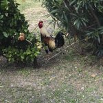 roosters run free