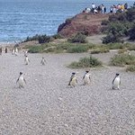 Pinguinos llegando a sus nidos..