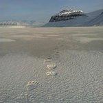 Polar bear tracks on the ice