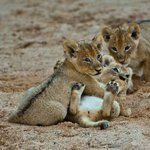 Ximhungwe pride cubs playing