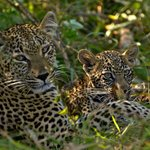 Hlabankuzi female Leopard and cub