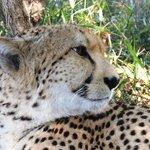 Cheetah at Tenikwa Game Resort near Knysna