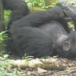 Chimps at Leisure