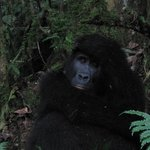 Gorilla Tracking, July 2012