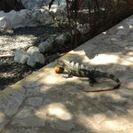 My iguana friend having a snack of mango