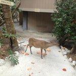 Key Deer - Friendly!